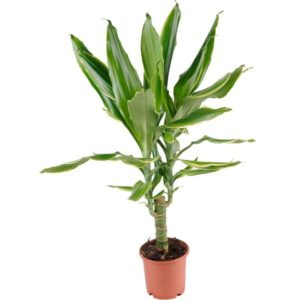 Golden Coast Dracaena