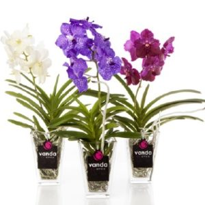 Luxurious Vanda Orchid